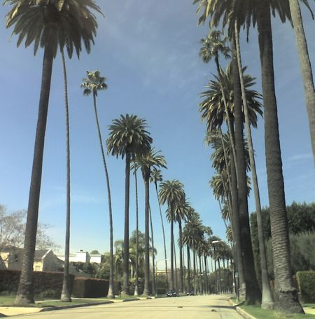 Palm Trees Beverly Hills