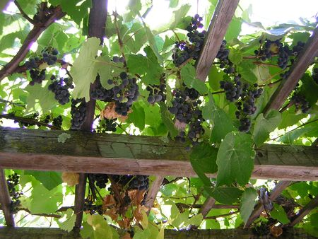 Grapes san luis obispo