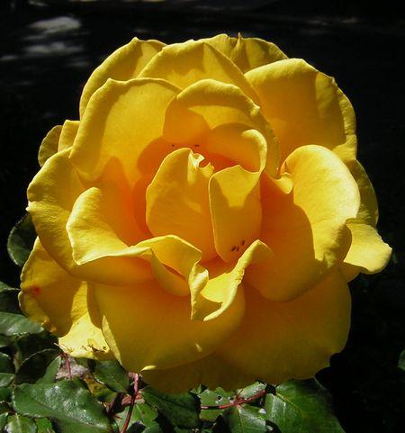 Rose san luis