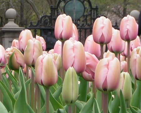 Pink_tulips