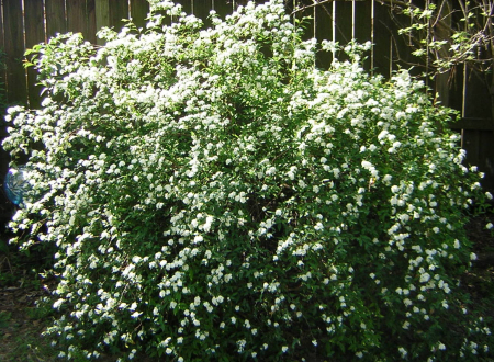 Bridal wreath 2018